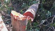 Nhức nhối tình trạng lâm tặc tàn phá rừng ở Đắk Nông