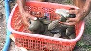 Ngư dân đầm Thủy Triều được mùa hải sâm
