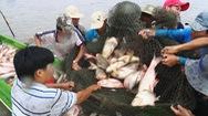 Hấp dẫn mô hình nuôi cá ruộng