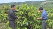 Điều tra vụ hái trộm gần 600 cây cà phê của một hộ dân