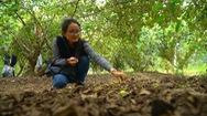 Đắm chìm trong vẻ đẹp cuốn hút của vườn táo hơn 60 năm tuổi