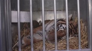Giải cứu thành công 5 con hổ bị buôn lậu