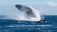 Đây là cách cá voi trở thành loài động vật lớn nhất hành tinh