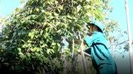 Giá tiêu xuống thấp, hơn 600 cán bộ, công chức tình nguyện hái giúp nông dân