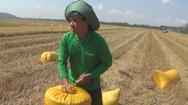 Mới đầu vụ, nông dân miền Tây đã lao đao vì giá lúa giảm mạnh