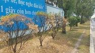 Hàng loạt cây xanh chết bất thường