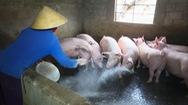 Góc nhìn trưa nay | Dịch tả heo châu Phi lan đến TP Thanh Hóa