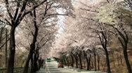 Đến xứ sở Kim chi chiêm ngưỡng mùa hoa anh đào tuyệt đẹp