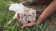 Xót thương cho chú dê con mới sinh có 2 đầu, 4 mắt và 3 lỗ tai ở Vĩnh Long