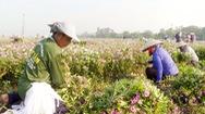 Chuyện người dân hiến đất trồng dược liệu