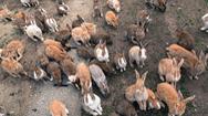 Bí ẩn hòn đảo thỏ nổi tiếng Nhật Bản