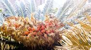 Loại cây độc cứu sống người dân Nhật Bản khỏi nạn đói