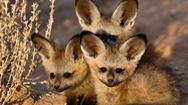 Cáo tai dơi: loài cáo vừa đáng yêu vừa đáng sợ