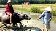 """Tin nóng 24h: Đưa trâu làm du lịch, nông dân Hội An thu tiền """"đô"""""""