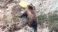 Cảnh sát giải cứu chú gấu mắc kẹt đầu trong xô nhựa