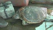 Thả 5 con rùa biển quý hiểm về môi trường tự nhiên