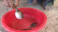 Hiểm họa từ cá nóc mít