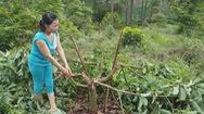 Gần 1 ha bơ của người tố cáo nạn phá rừng nghi bị kẻ xấu chặt hạ