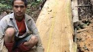 Bắt khẩn cấp lâm tặc cưa hạ cây bạch tùng cổ thụ tại Lâm Đồng