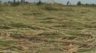 ĐBSCL: Diện tích lúa hè thu bị ảnh hưởng do mưa bão