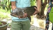 Cá lóc nặng gần 5kg được người dân nuôi làm cảnh