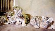 Khoảnh khắc đáng yêu của hổ con Siberi