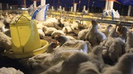 Giá gà công nghiệp thấp nhất từ đầu năm 2019 đến nay