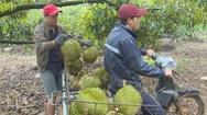 Sầu riêng Lâm Đồng sẵn sàng để xuất khẩu