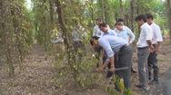 Hơn 2.000 ha hồ tiêu ở Bình Phước bị chết do thời tiết thất thường