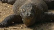 Rồng Komodo bị đe dọa vì quá tải du khách