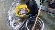 Người nuôi cá tra thua lỗ nặng vì giá giảm