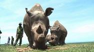 Nỗ lực cứu loài tê giác trắng bằng thụ tinh ống nghiệm