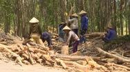Mất mùa keo, người trồng rừng gặp khó