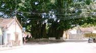 Độc đáo cây sộp hơn 300 năm tuổi thay lá chỉ trong 1 ngày