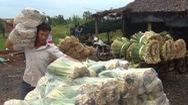 Tin nóng 24h: Sả Tân Phú Đông, đổi đời vùng đất cù lao