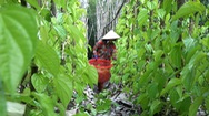 Xanh mướt vườn trầu Vị Thủy