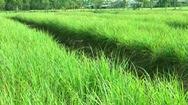 Sả Tân Phú Đông, đổi đời vùng đất cù lao