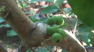 Vườn nho thân gỗ độc lạ của thầy giáo xứ cù lao