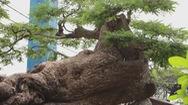 Góc nhìn trưa nay | Ngắm những cây cảnh tiền tỉ, có tuổi đời hàng trăm năm