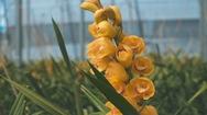Hoa lan được trồng từ công nghệ cao rộn ràng vào vụ Tết