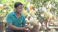 Nông dân Bến Tre trồng thành công bưởi diễn giá chỉ vài triệu đồng một chậu