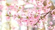 Video: Ngắm hoa mai anh đào Đà Lạt mùa giáp Tết