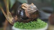 Biến dừa khô thành bonsai hình chuột