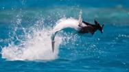 Video: Khoảnh khắc cá phi thân nuốt một con chim đang bay