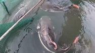 Đàn cá độc lạ được nuôi trong bè của lão nông Bảy Bon ở Cần Thơ