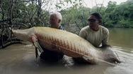 Đi săn cá rồng khổng lồ, 'vua ăn thịt' của vùng sông Amazon