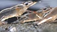 Video: Xem cận cảnh đàn tôm lũ lượt bò lên bờ