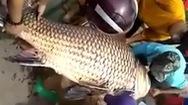 Video: Ngư dân An Giang bắt được cá hô khủng nặng trên 110kg
