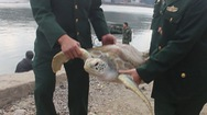 Video: Thả rùa quý nặng 30kg về biển