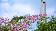 Góc nhìn trưa nay | Rực rỡ mùa hoa kèn hồng nở sớm ở Sài Gòn